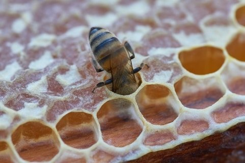 bee on honey plaster