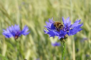 Cornflowers and bee